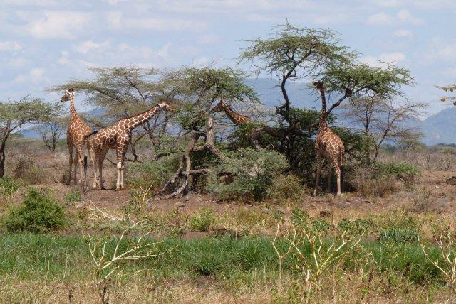 Kenya - Giraffes